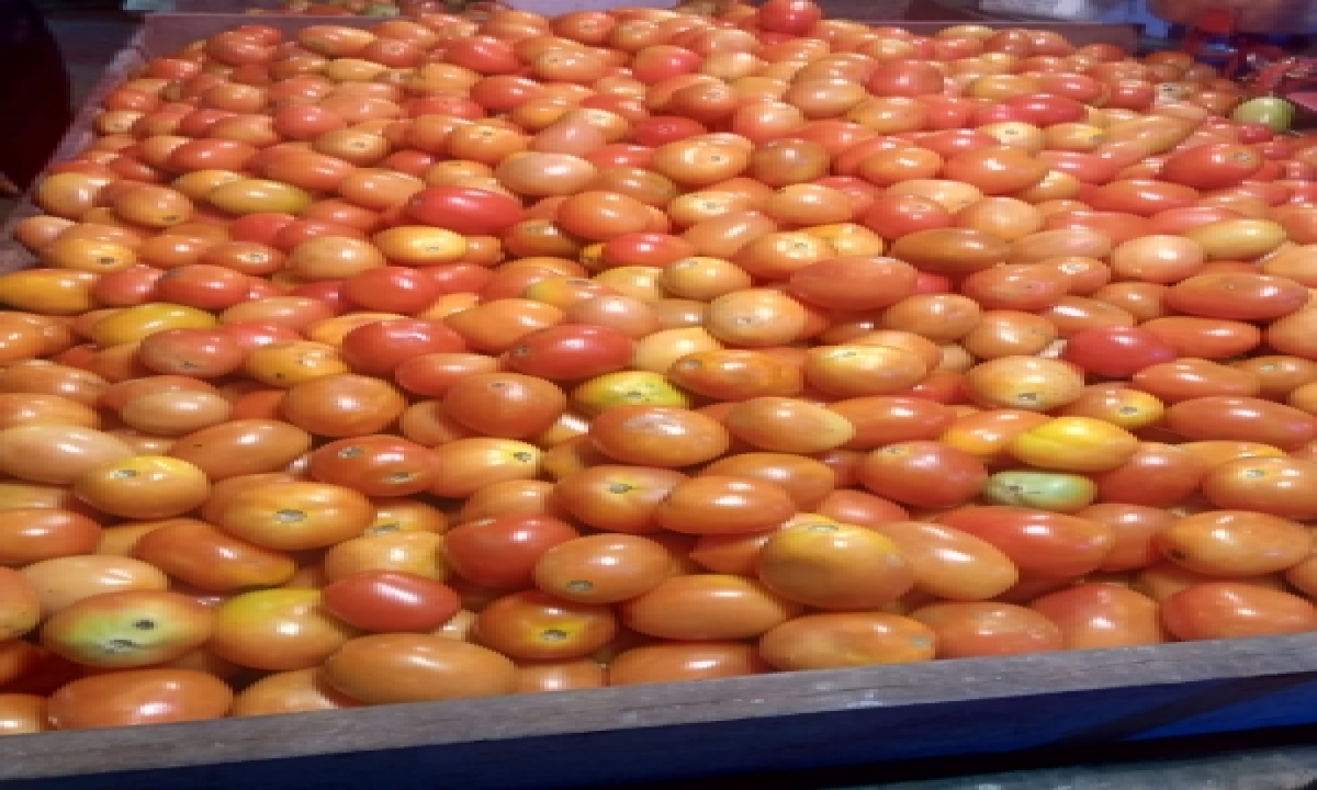 TeluguStop.com - Andhra Govt To Buy Tomatoes As Farmers Suffer Low Prices