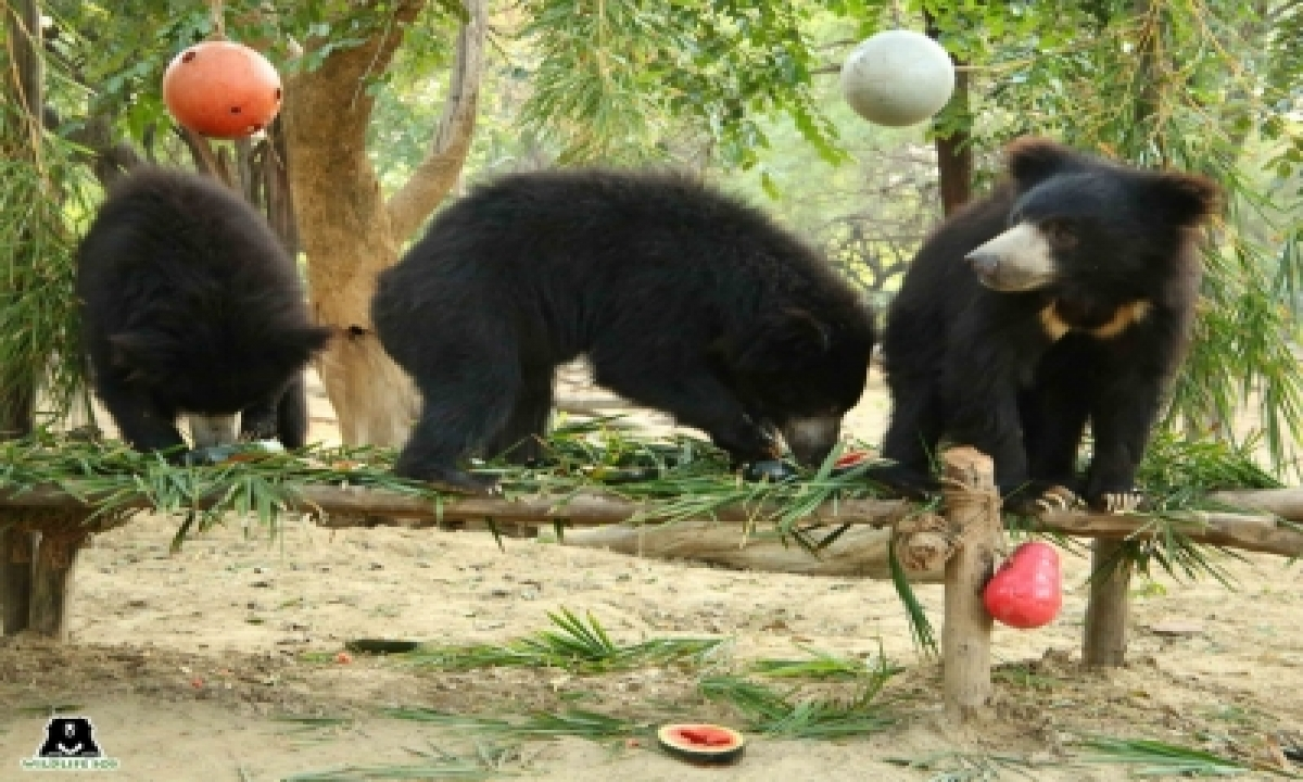 TeluguStop.com - Five Sloth Bears Celebrate One Year Of Freedom At Agra Care Centre