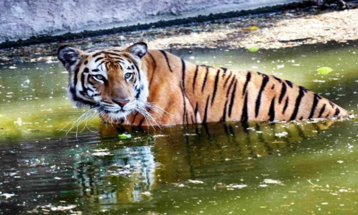 TeluguStop.com - Man-animal Conflict: Telangana Seeks Ntca Help To Deal With Tigers