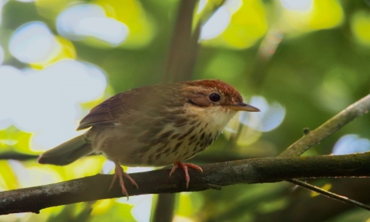 TeluguStop.com - Puff-throated Babbler Makes First Appearance In Rajasthan