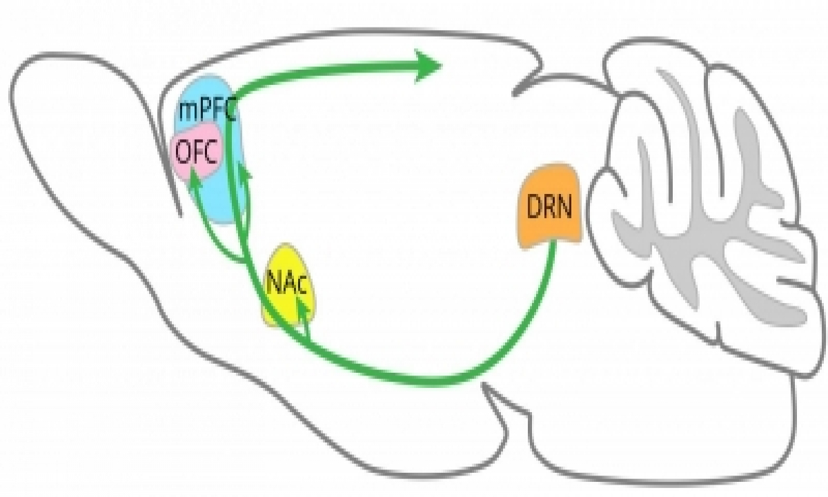 TeluguStop.com - Regions Of Brain Where Serotonin Promotes Patience Identified