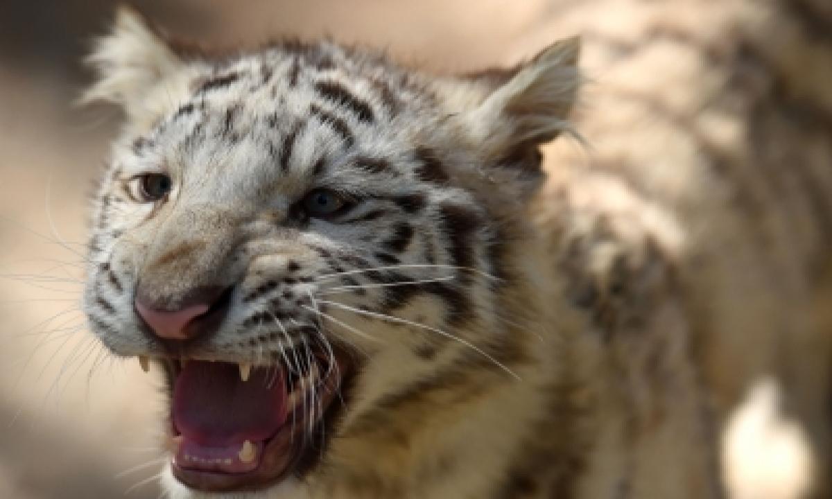 TeluguStop.com - Tiger Kills Tribal Girl In Telangana