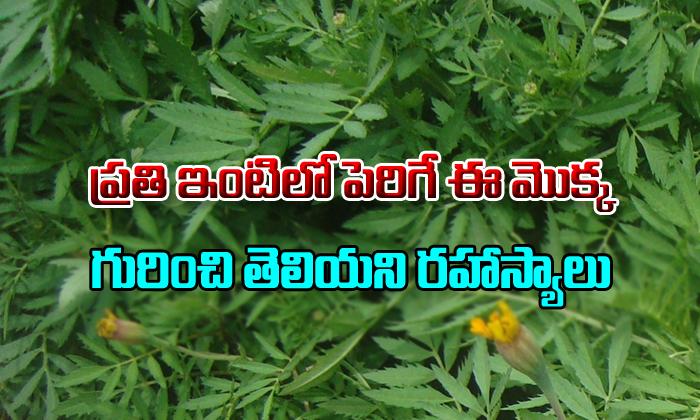 TeluguStop.com - Health Benefits Of Marigold Flowers In Telugu-Telugu Health - తెలుగు హెల్త్ టిప్స్ ,చిట్కాలు-Telugu Tollywood Photo Image