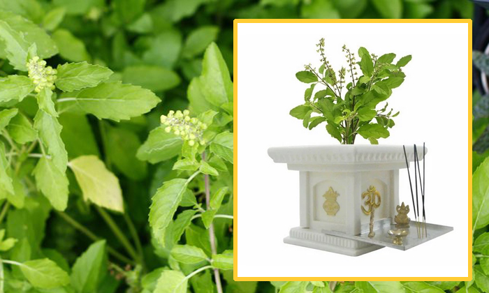 Facts And Importance About Tulsi Plant