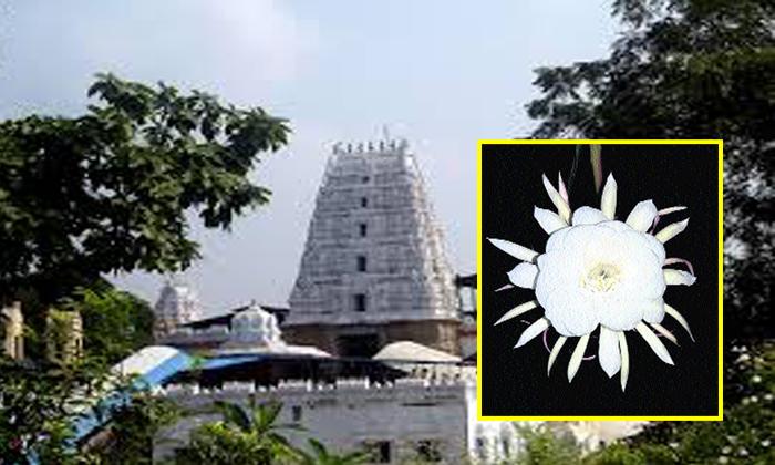 మూల నక్షత్రం రోజున.. భద్రాద్రిలో అద్బుతం. అర్ధరాత్రి ఏమైందో తెలుసా. 100 ఏళ్ళకొకసారి ఇలా. -Miracle: The Brahma Kamalam Found At Bhadrachalam At Mulanakhatram - -Telugu Bhakthi-Telugu Tollywood Photo Image