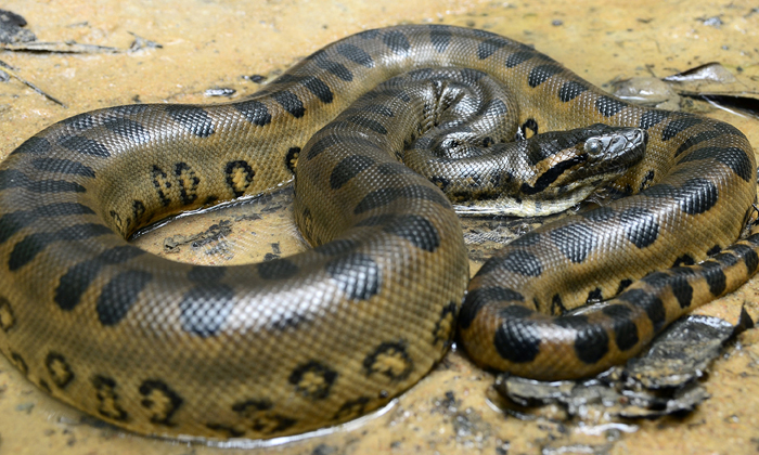 Anaconda Became Pregnant By Herself...gave Birth To Two Babies