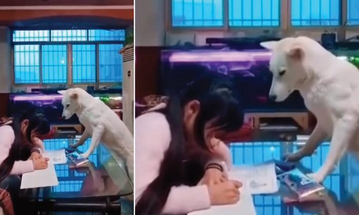 Man In China Trains Pet Dog To Supervise His Daughter