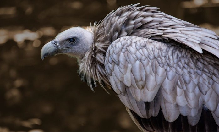 Vulture Spotted After 20 Years In Hyderabad