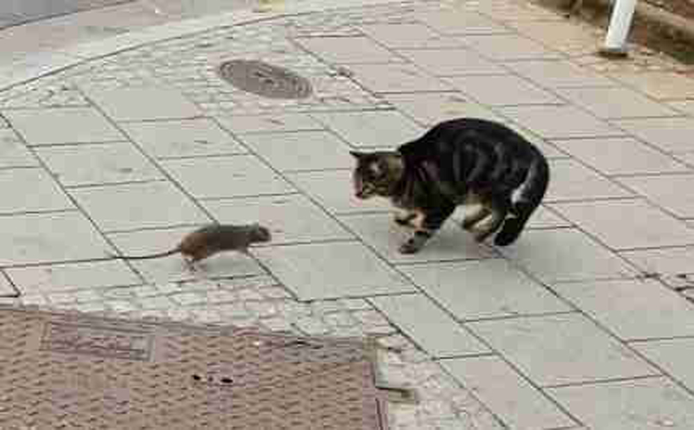 Rat Chases Cat Video Viral In Social Media - Telugu Viral News Rat Chases Cat Video Viral In Social Media -