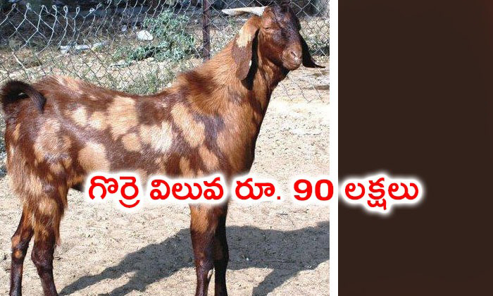 Goat Worth Of Rs 90 Lakhs In Rajasthan