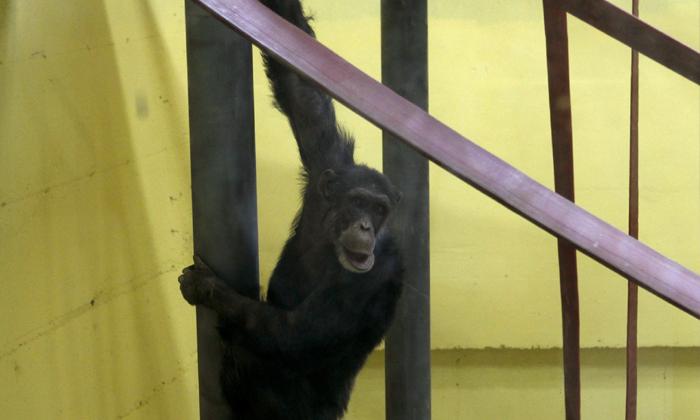 Chimpanzee Escape To Zoo - Telugu Viral News Chimpanzee Escape To Zoo -