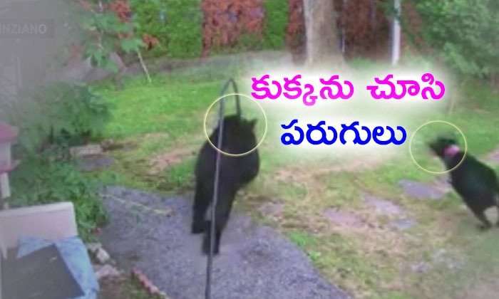 Dog Chases Bear From Garden