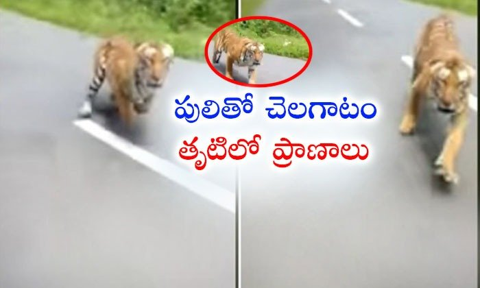 Tiger Chases A Bike Rider