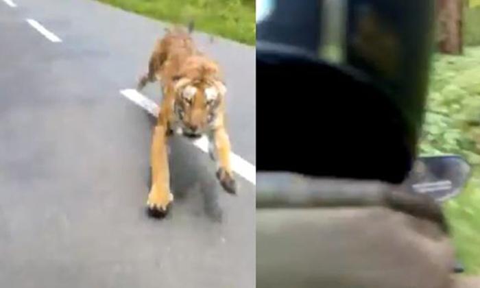 Tiger Chases A Bike Rider - Telugu Viral News Tiger Chases A Bike Rider -