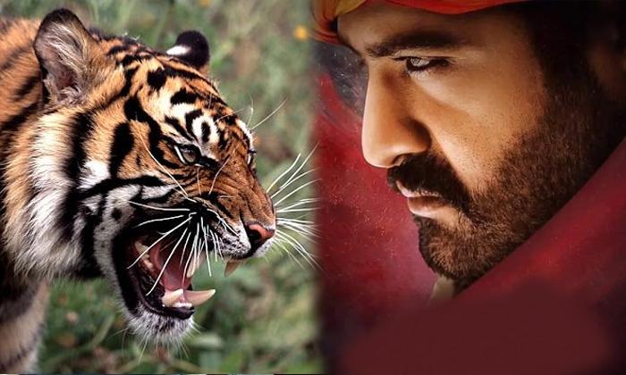 మరీ పులితో ఎన్టీఆర్ ఫైట్ ఏంటి జక్కన్న-Movie-Telugu Tollywood Photo Image