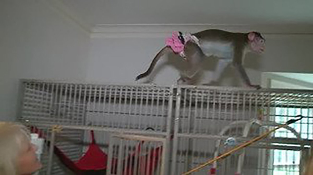 Telugu Legal Battle To Keep Three Monkeys, Missouri, Nri, Telugu Nri News Updates-
