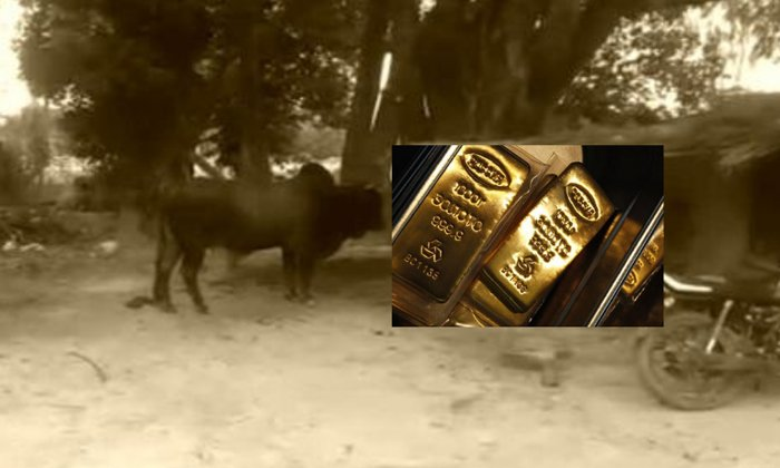 Telugu Bull, Bull Swallos The Gold, , Gold Marchant Keep The Gold In Dustbin, Gold Merchant, Haryana-