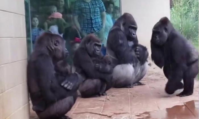 Telugu General Telugu News, Gorillas, , Monkeys, Social Media-