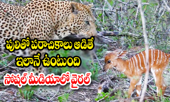 Baby Nyala Charges At Leopard Repeatedly-kruger National Park,leopard Repeatedly,south Africa Telugu Viral News Baby Nyala Charges At Leopard Repeatedly-kruger National Park Leopard Repeatedly South A-Baby Nyala Charges At Leopard Repeatedly-Kruger National Park Leopard Repeatedly South Africa