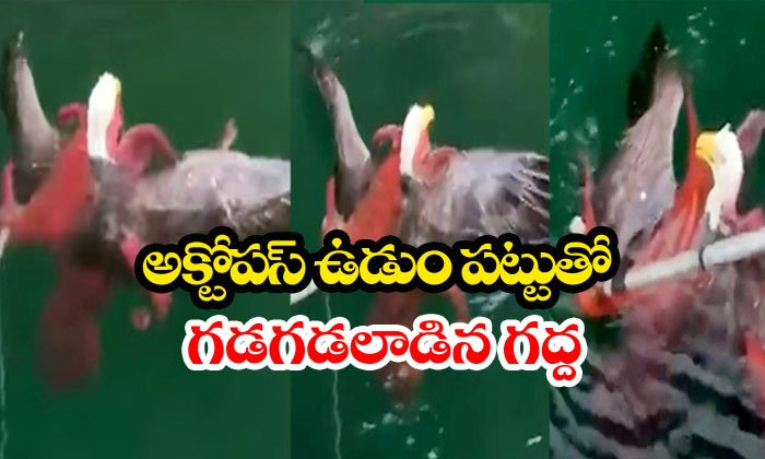 Eagle Caught In Water By Octopus-octopus,viral ,water,weird News Telugu Viral News Eagle Caught In Water By Octopus-octopus Viral Water Weird News-Eagle Caught In Water By Octopus-Octopus Viral Videos Water Weird News