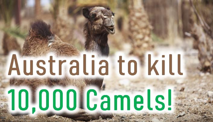 Australia To Kill 10 000 Camels!-Australia Bushfires Forest Fires