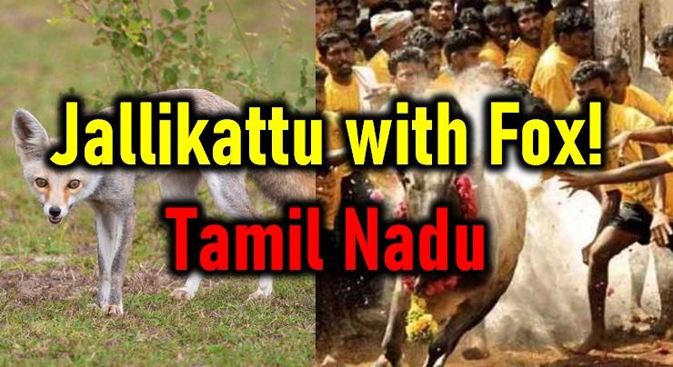 Bizarre! Jallikattu With Fox In Tamil Nadu!-Jallikattu Nadu Sport