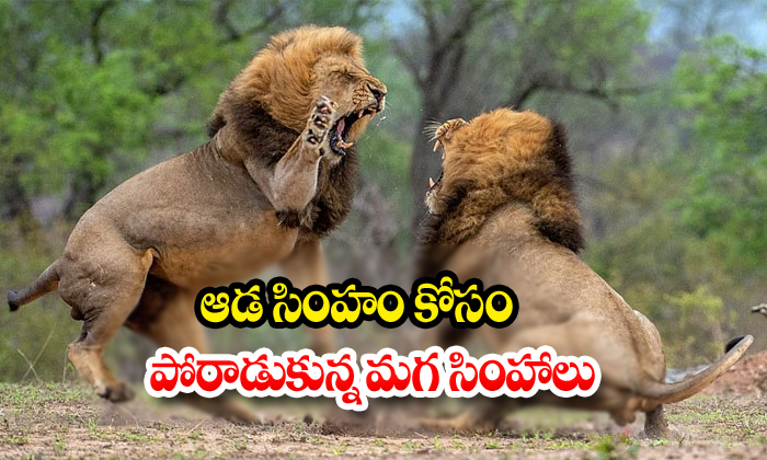 Two Male Lions Fight For Female Lion-Social Media Twitter Two Viral Video