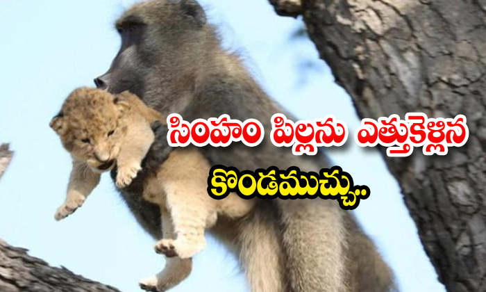 Baboon Steals Lion Baby In South Africa Video Goes Viral In Internet