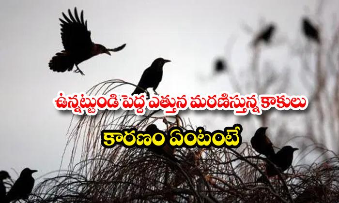 Crows Deaths Tamilnadu Corona