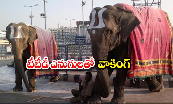 Elephants Walking Ttd Lockdown