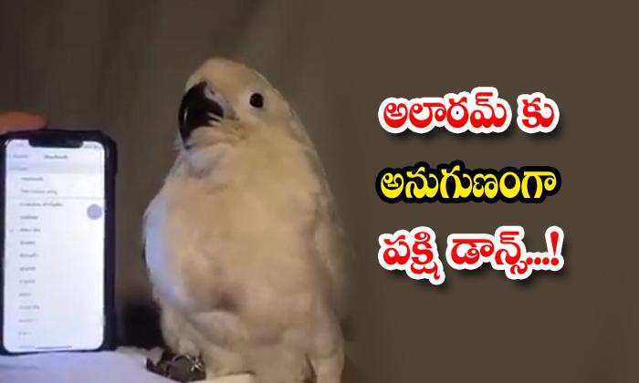 Bird Dance To The Alarm