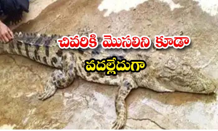 Crocodile Meat Malkangiri