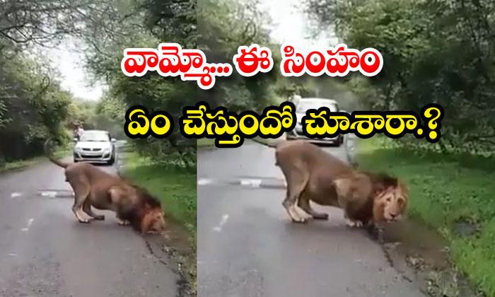 Lion Drinking Water Roadside