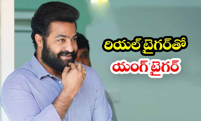 Ntr To Fight Real Tiger For Rrr