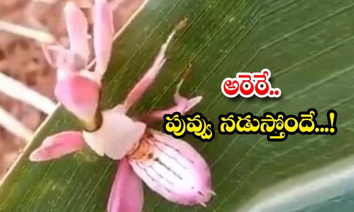 Walking Flower Orchid Mantis Viral Video