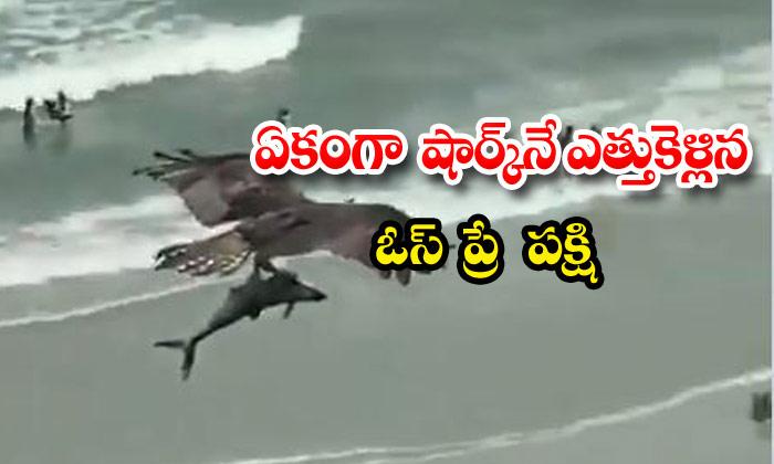 Ospray Bird Shark Viral Video