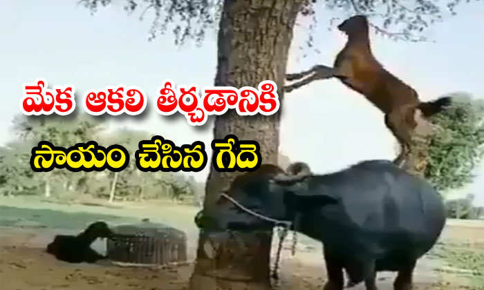 Smart Goat Finds Amusing Way To Eat The Leaves Of Tree