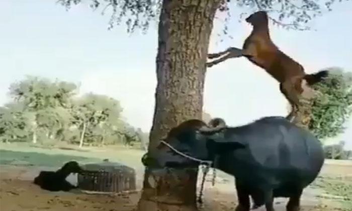 మేక ఆకలి తీర్చడానికి సాయం చేసిన గేదె-General-Telugu-Telugu Tollywood Photo Image