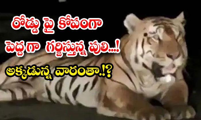 Tiger Madhya Pradesh Highway Viral