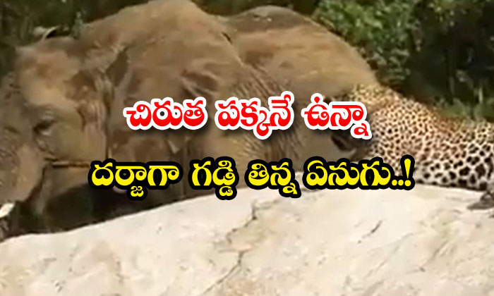 TeluguStop.com - The Grass Eating Elephant Next To The Leopard