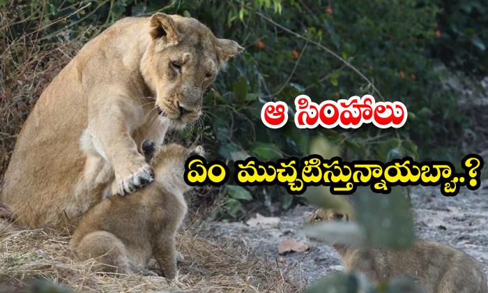 Lioness Cubs Photo Viral Parveen Kaswan Ifs Twitter