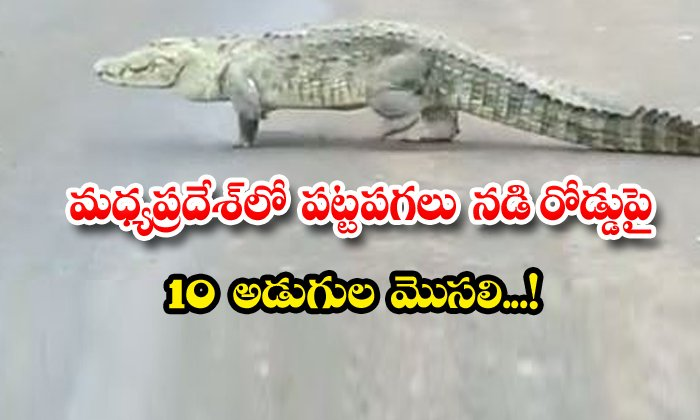 Madhya Pradesh Crocodile On Road Viral Video