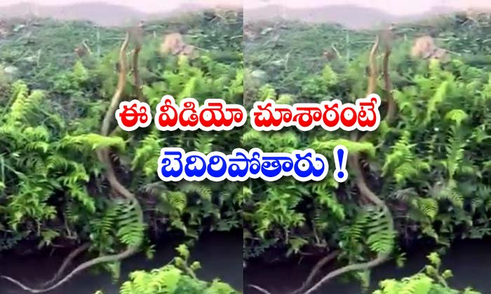 Two Rat Snakes Fight Viral Video Sushanth Nanda
