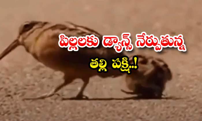 వైరల్ వీడియో: పిల్లలకు డ్యాన్స్ నేర్పుతున్న తల్లి పక్షి!