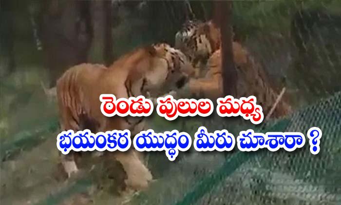 TeluguStop.com - Fighting Wild Tiger Safari Tiger Karnataka Sushanth Nanda