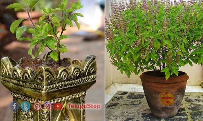TeluguStop.com - తులసి దళాలతో ఇలా చేస్తే ధనవంతులు అవ్వడం ఖాయం-Latest News - Telugu-Telugu Tollywood Photo Image