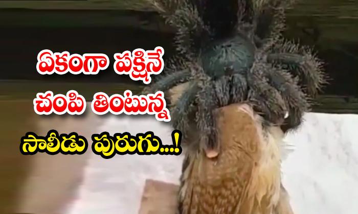 TeluguStop.com - Giant Spider Eating Bird Viral Video