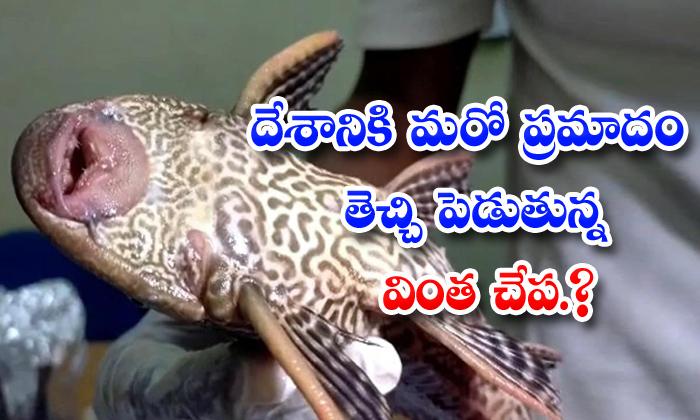 TeluguStop.com - Sucker Mouth Catfish Amazon River Ganges