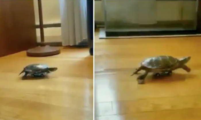 TeluguStop.com - Fight Between Alligator And Turtle. Who Wins The Tough Fight. Viral Video.