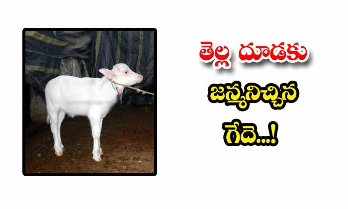 TeluguStop.com - The Buffalo That Gave Birth To The White Calf